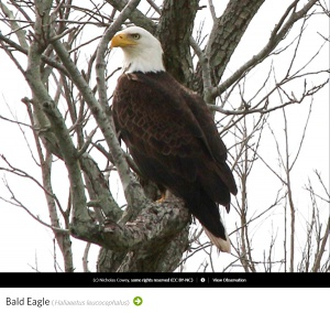 Bald Eagle, Photo by Nicholas Cowey