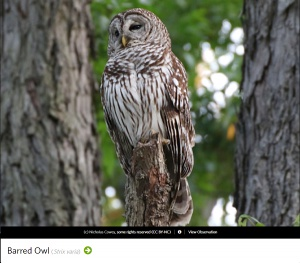 Barred Owl, photo by Nicholas Cowey.