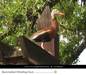 Black-bellied Whistling Duck, photo by Nicholas Cowey in Bastrop County, Texas