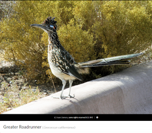 Greater Roadrunner, photo by Juan Zamora.
