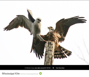 Mississippi Kite, photo by Nicholas Cowey.