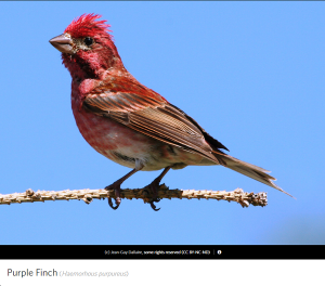 Purple Finch, photo by Jean Guy Dallaire