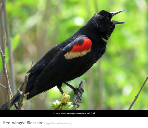 Red-winged Blackbird, photo by Katja Schulz