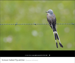 Scissor-tailed Flycatcher by photographer Dale Hichens