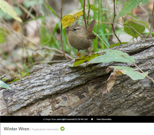 Winter Wren, photo by Roger Shaw.