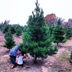 Father and child cutting Christmas tree.